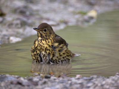 Song Thrush, Turdus Philomelos, Bathing in Puddle, United Kingdom