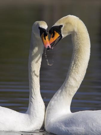 Mute Swan Pair, Courting at Martin Mere Wildfowl and Wetlands Trust Nature Reserve, Lancashire