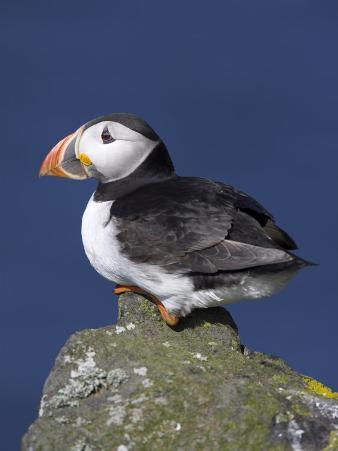 Puffin on Rock, Fratercula Arctica, Isle of May, Scotland, United Kingdom