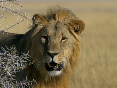 Lion (Panthera Leo), Etosha, Namibia, Africa