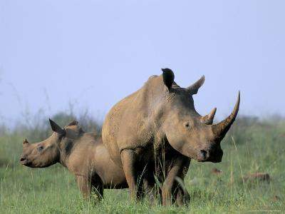 White Rhino (Ceratherium Simum) with Calf, Itala Game Reserve, South Africa, Africa