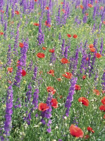 Wild Flowers Near Goreme, Cappadocia, Anatolia, Turkey