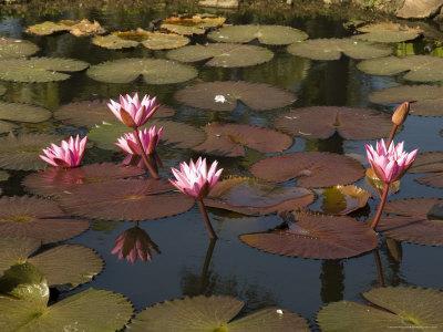 Water Lilies, Goa, India