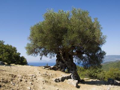 Very Old Olive Tree, Kefalonia (Cephalonia), Ionian Islands, Greece