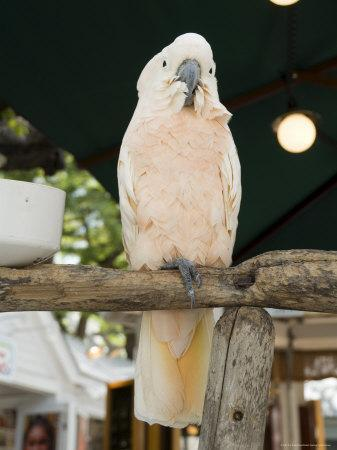 Parrot in Cafe, Duval Street, Key West, Florida, USA