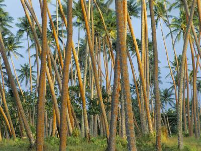 Coconut Plantation, Taveuni Island, Fiji