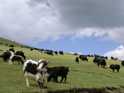 Herd of Yak, Including a White Yak, Lake Son-Kul, Kyrgyzstan, Central Asia