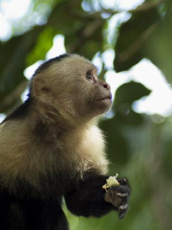 Capuchin or White Faced Monkey, Manuel Antonio Nature Reserve, Manuel Antonio, Costa Rica
