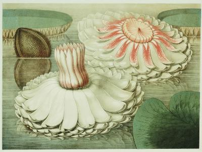 Victoria Regia or the Great Water Lily of America (Intermediate Stages of Bloom), 1854