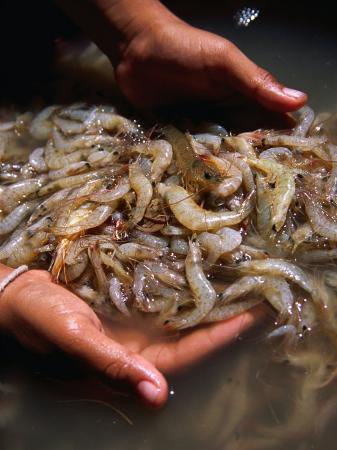 Scooping Up Fresh Catch of Shrimps, Ko Panyi, Phang-Nga, Thailand