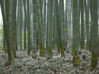 Bamboo Grove on Approach to Okochi Denjiro's Villa, Kyoto, Kinki, Japan