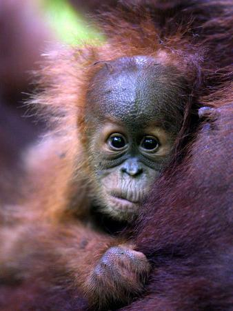 Baby Oragutan Nestled in Arms of Mother, Gunung Leuser National Park, Indonesia