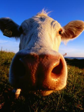 Close-Up of Cow's Nose at Glumslovs Backar, Landskrona, Skane, Sweden