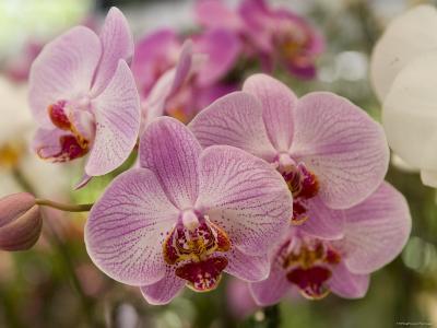 Pink Orchids at Orchid Garden, Kuala Lumpur, Wilayah Persekutuan, Malaysia