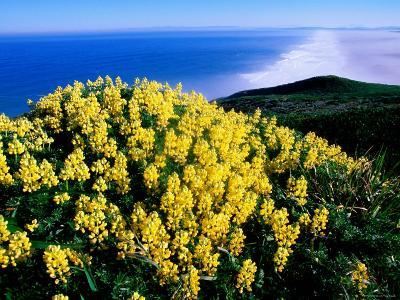 Tree Lupine at Point Reyes National Seashore, Marin County, California
