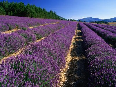 Rows of Lavender in Bloom, Vaucluse Region, Sault, Provence-Alpes-Cote d'Azur, France