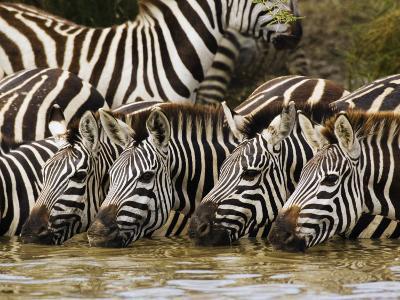 Plains Zebra, Serengeti National Park, Shinyanga, Tanzania