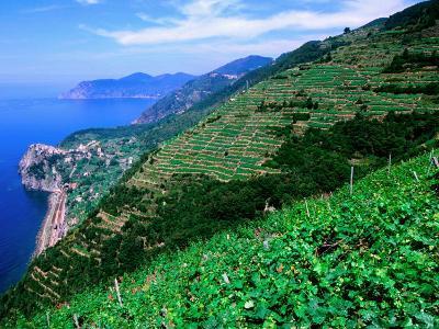 Vineyards from Trail Above Corniglia, Cinque Terre, Liguria, Italy