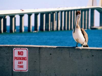 Brown Pelican in Front of Sunshine Skyway Bridge, Tampa Bay, Tampa, Florida
