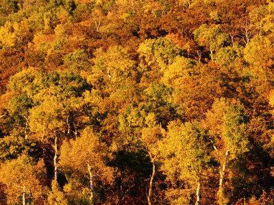 Autumn Foliage on Aspen Trees, Steamboat Springs, Colorado