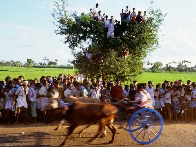Bullock Cart Race, Madurai, Tamil Nadu, India