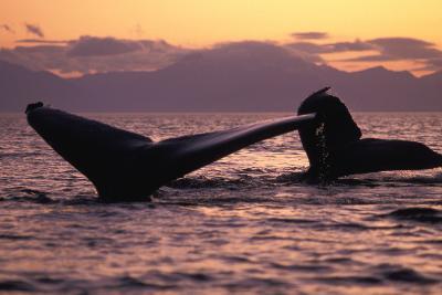 Humpback Whale at Sunset, Inside Passage, Alaska, USA