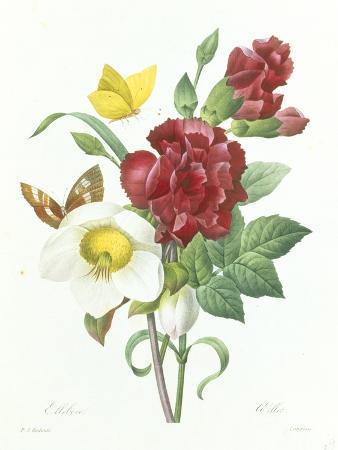Botanical Study of Hellebore