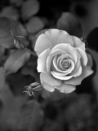 Delicate Petals III