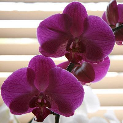 Purple Orchids III
