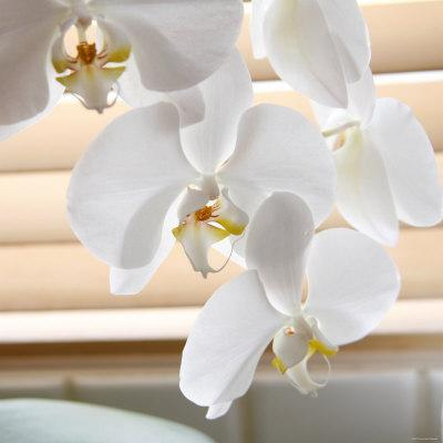 White Orchids II
