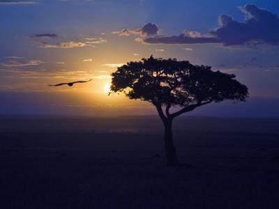 Early Sunrise on Vulture Gliding in Silhouetted Tree of the Maasai Mara, Kenya