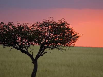 Morning Sunrise Behind a Tree in the Maasai Mara, Kenya