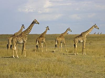 Maasai Giraffes Roaming Across the Maasai Mara, Kenya