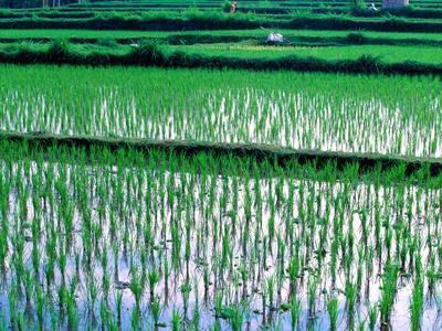 Rice Cultivation, Bali, Indonesia
