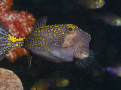 Spotted Boxfish, Banda Sea, Indonesia