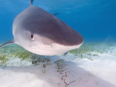 Tiger Sharks, Northern Bahamas