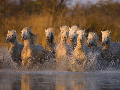 White Camargue Horse Running in Water, Provence, France