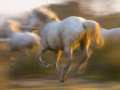 White Camargue Horses Running, Provence, France
