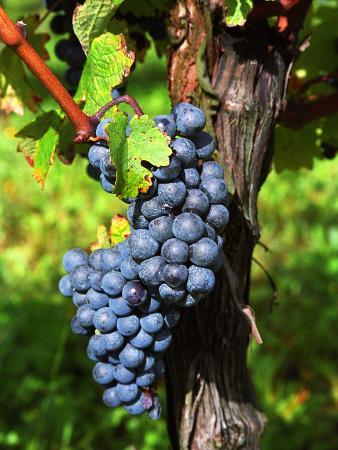 Merlot Grapes on Branch of a Vine, Bergerac, Bordeaux, Gironde, France