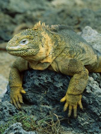 Detail of Land Iguana on Volcanic Rock, Galapagos Islands, Ecuador