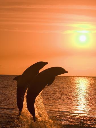 Bottlenose Dolphins, Caribbean Sea