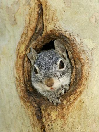 Grey Squirrel in Sycamore Tree Hole, Madera Canyon, Arizona, USA