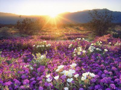 Sand Verbena and Dune Primrose Wildflowers at Sunset, Anza-Borrego Desert State Park, California