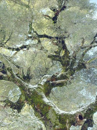Snow and Moss on Live Oak Tree in Cuyamama Rancho State Park, California, USA