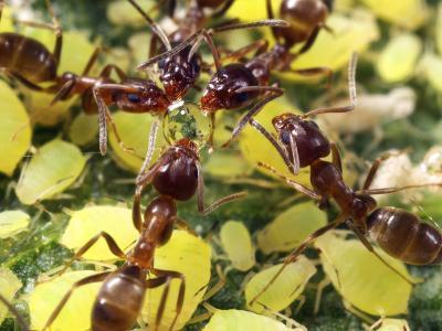 Close-up of Ants Harvesting Honeydew from Aphids, Lakeside, California, USA