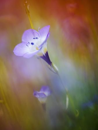 Abstract of Gilia Wildflowers, California, USA