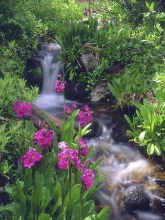 Wildflowers Along Flowing Stream in an Alpine Meadow, Rocky Mountains, Colorado, USA
