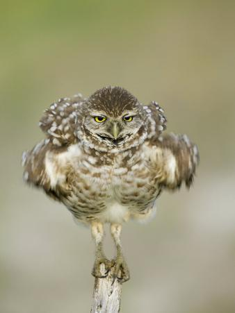 Close-up of Burrowing Owl Shaking Its Feathers on Fence Post, Cape Coral, Florida, USA