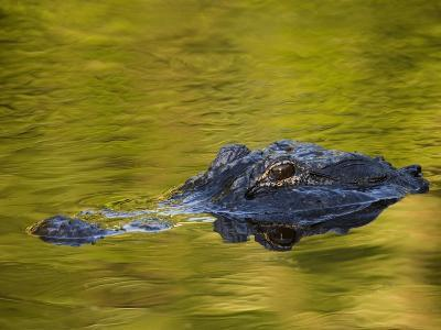 American Alligator at an Alligator Farm, St. Augustine, Florida, USA