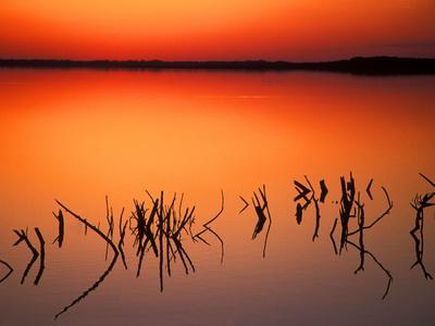 Sunset Silhouettes of Dead Tree Branches Through Water on Lake Apopka, Florida, USA